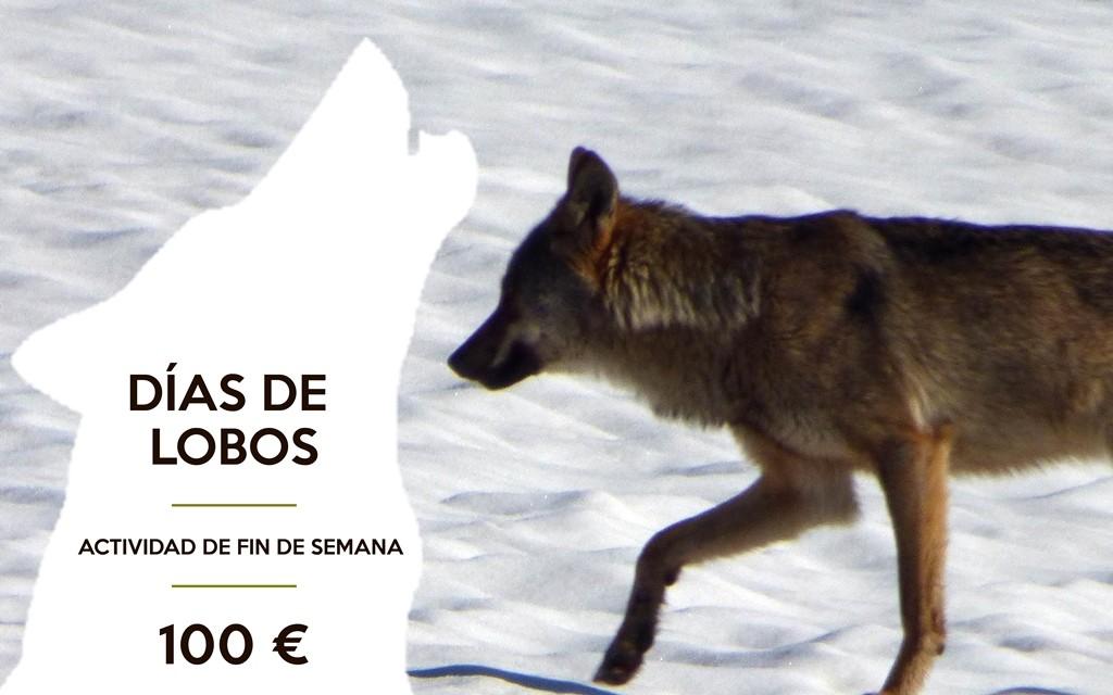 lobo, ver lobos zamora, cursos lobo, sierra de la culebra, zamora, sanabria, lobo, cursos lobo, lobo ibérico, iberian wolf, ecoturismo,  observación lobo en zamora, educación ambiental lobo, ecotourism, ecoturismo, ver lobos sierra de la culebra