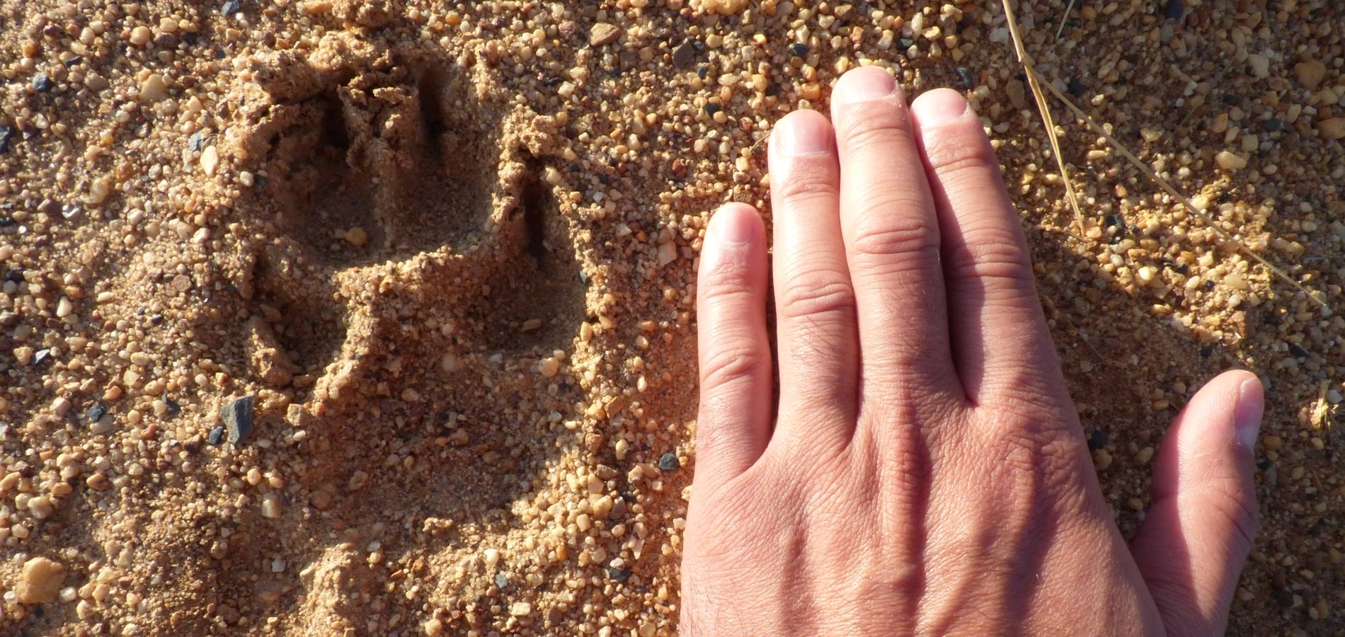 Dias de lobos sierra de la culebra llobu observacion lobo ibérico huella